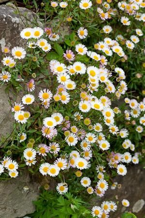Erigeron karvinskianus    Flowers April-November. Good for softening paths, walls, etc.