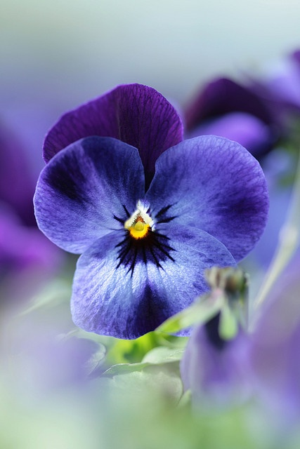 Pansies are derived from Viola species Viola tricolor hybridized with other viola species, these hybrids are referred to as Viola × wittrockiana or less commonly Viola tricolor hortensis.