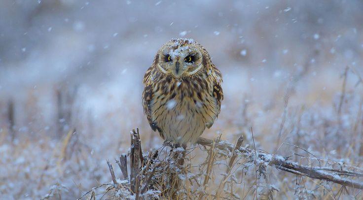 short-eared owl - short-eared owl