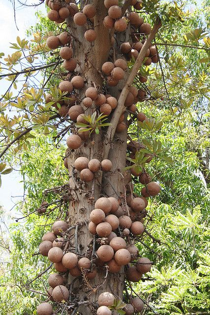 Cannonball Tree (Couroupita guianensis): This evergreen is a member of the Brazil Nut tree family. The ripe fruits can weigh several kgs. Image credit Christopher Hu. #Trees