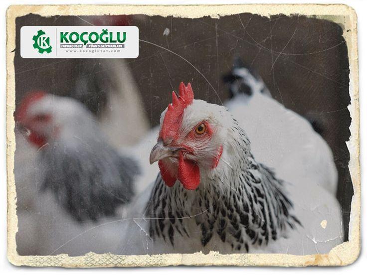 Tavukçuluk ve tavuk satışı konusunda detaylı bilgiye web sayfamızdan ulaşabilirsiniz http://www.yarkaburada.com