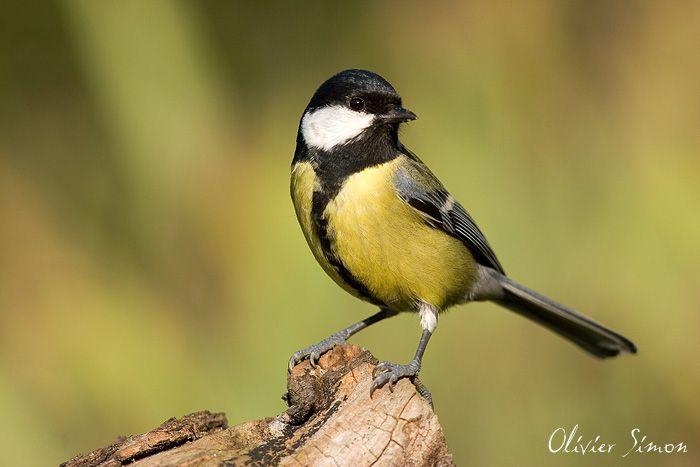 Oiseaux du jardin - Mésange charbonnière -