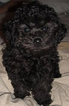 Toy Poodle | Toy Poodle Photos Pictures Toy Poodles - Page 5