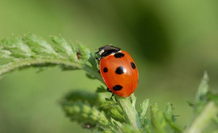 Nicht umsonst sagt man ihm nach, dass er Glück bringt: Der Marienkäfer ist ein eifriger Schädlingsvernichter