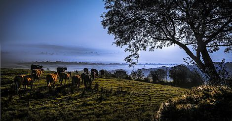 Cattle Above the Mist by Tony Moore