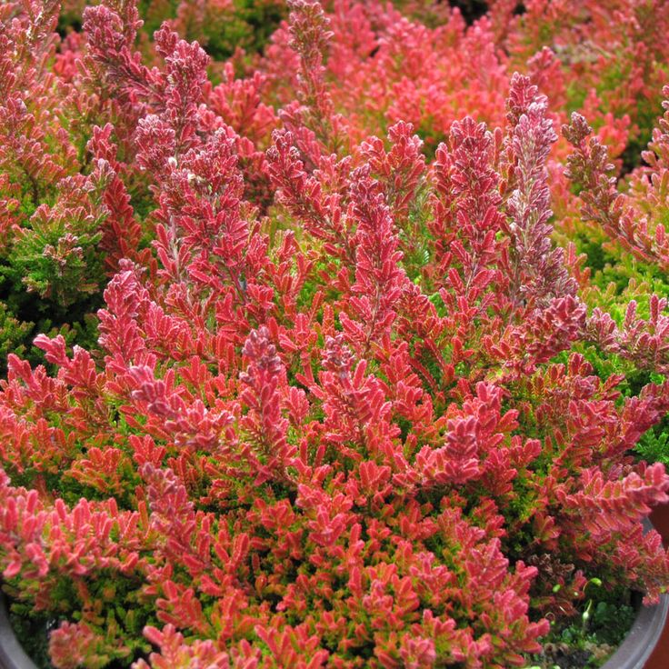 Winter chocolate heather shrubs heather o 39 rourke and for Calluna vulgaris