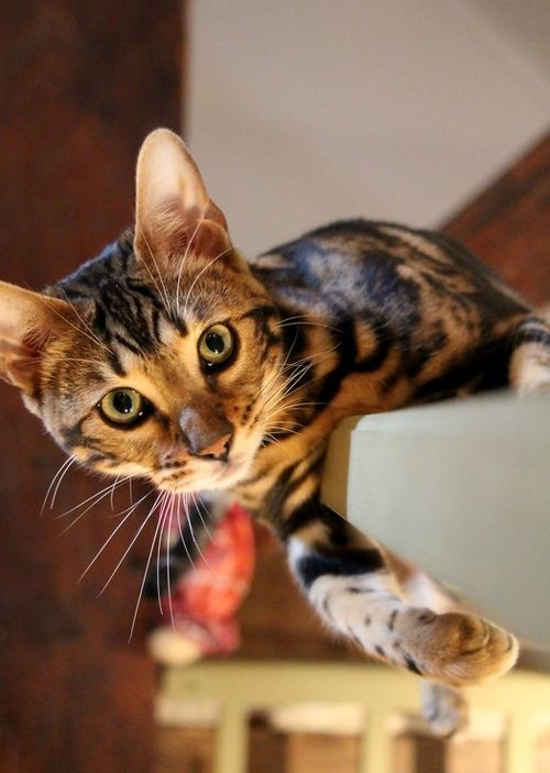 Bengal cat ... I want to have one!!!