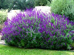 frou frou maison: drought tolerant perennials Mexican Sage (top of hill)