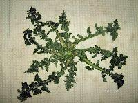 Urospermum picroides Πικρίθρα, Κουφολάχανο Οικογένεια: Αστεροειδών-Asteraceae
