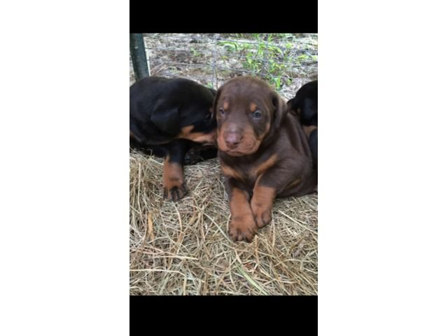 Beautiful AKC Doberman puppies for sale - Animals - Baton Rouge - Louisiana - announcement-77469