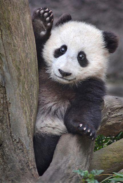 Www Bing Com1 Microsoft Way Redmond: 163 Best Images About Giant Pandas On Pinterest