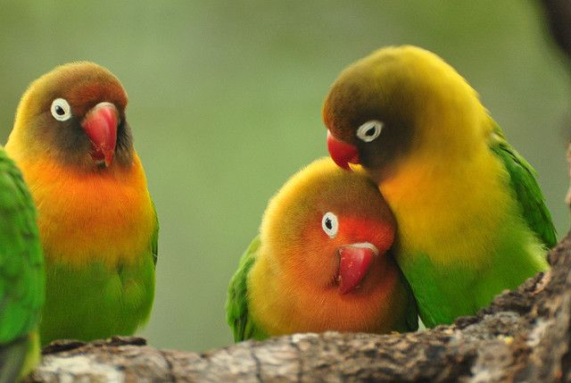 They are the smallest of Love Birds...no more than 5 inches...and the males are smaller,and like most male birds...more colorful