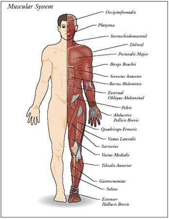muscular system | muscular system | pinterest | bambino, anatomia, Muscles