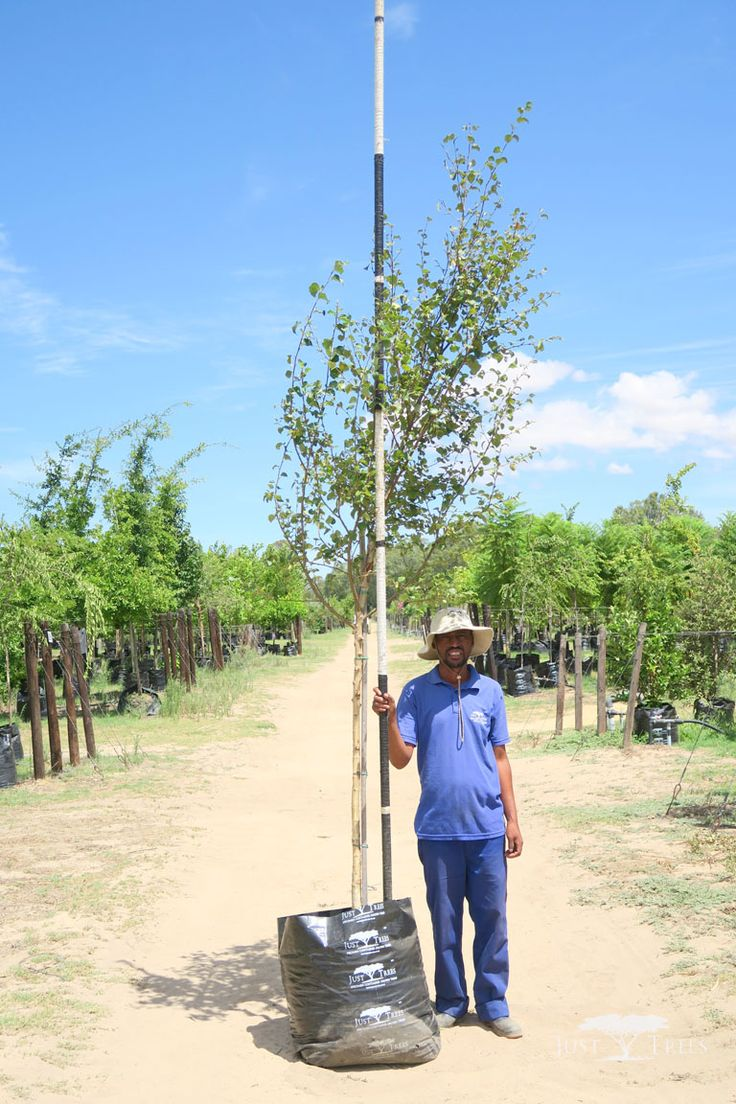 100L Betula pendula alba. This medium-sized deciduous tree is often used in parks and gardens for its elegant white bark and open canopy of leaves, allowing speckled light through. It is also very tolerant to pollution, making it a popular choice for cities and more industrial areas.