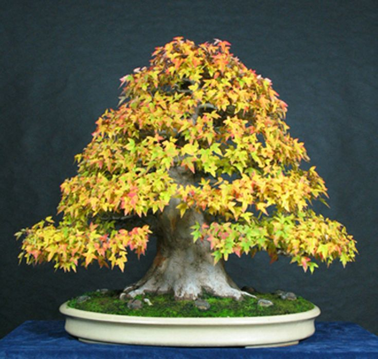 Luxury Monster Trident Maple Bonsai in Full Fall Color
