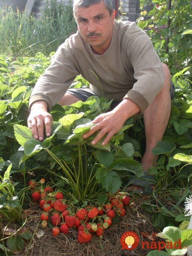 Je čas pozrieť sa na jahody: Rady s ktorými budete žať extra veľkú úrodu každý rok!