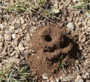 Pino-Trail-ant-hill