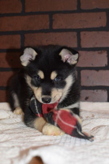 Denver Is A Male Pomsky Puppy For Sale At Puppyspot Call Us Today