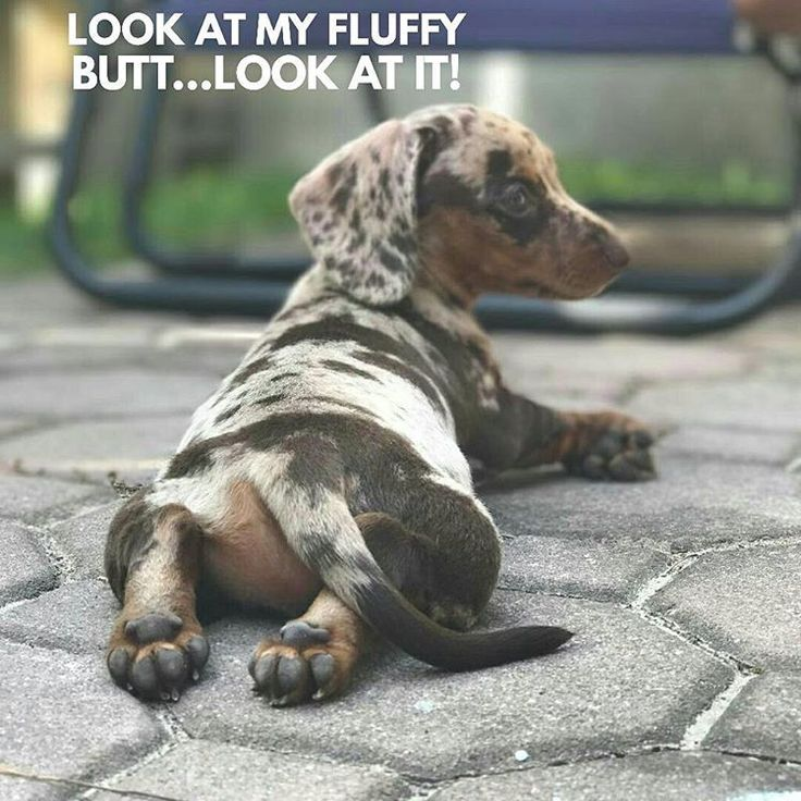 """22 Likes, 2 Comments - Dachshund Quotes & Pictures (@mydachshundfamily) on Instagram: """" . @daisy__the__dachshund"""""""