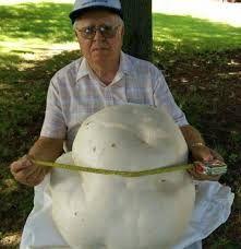 Image result for giant puffball mushroom