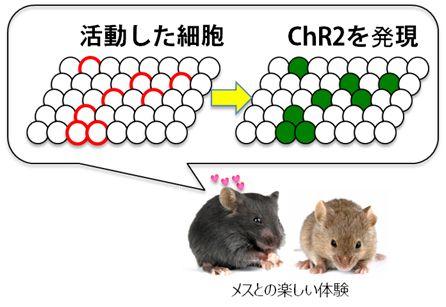 光遺伝学によってマウスのうつ状態を改善することに成功-理研 - QLifePro 医療ニュース