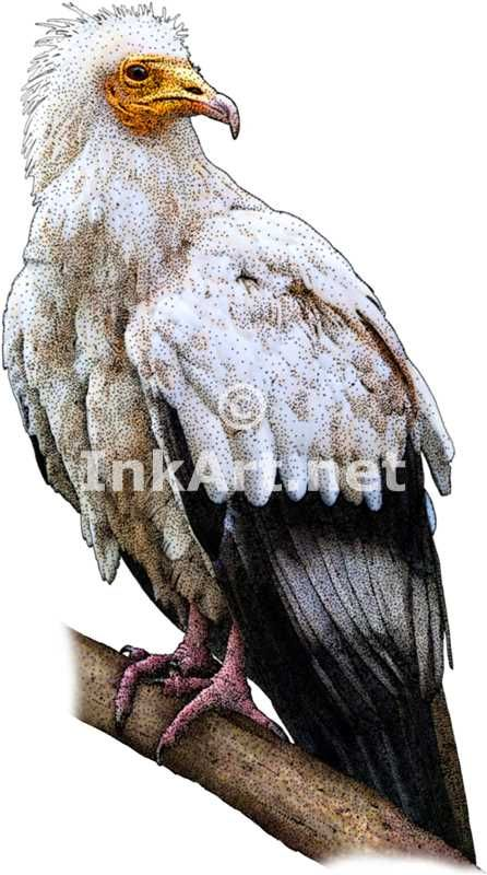 Full color illustration of an Egyptian Vulture (Neophron percnopterus)