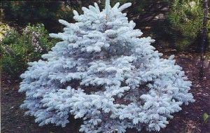 Dwarf Montgomery Blue Spruce 3-4' tall x 3' wide