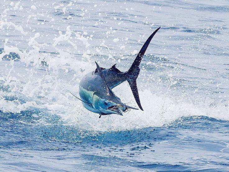 blue marlin jumping off kona hawaii