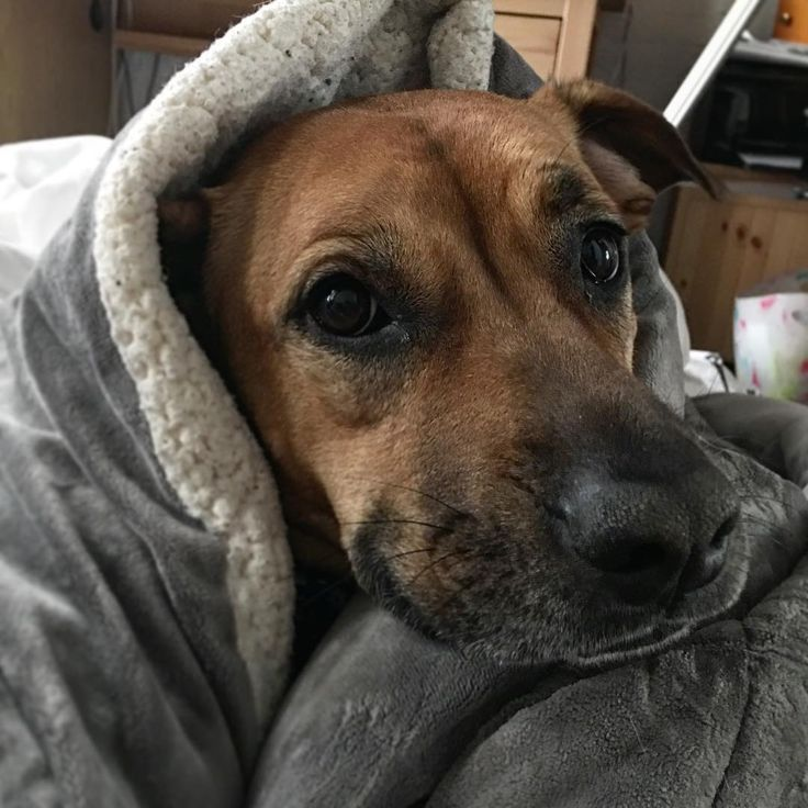 Always a good day when you wake up to a puppy cuddle in a fluffy blanket.      #puppy #harley #harleyquinn #dog #dogsofinstagram #doge #winter #soft #fluffy #warm #goodmorning #morning #morningmotivation #blackmouthcur #cuddle #cuddles #cozy #bed #ny #nyc #apartment #march #wrappedup #burrito #staywarm #cute #cutepets #sweet
