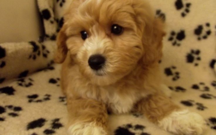 Cavapoo #9589 Puppy For Sale
