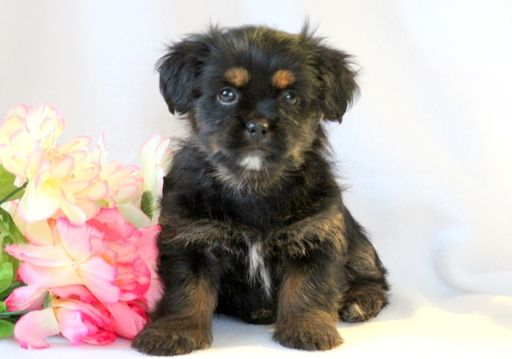 Shorkie Tzu puppy for sale in MOUNT JOY, PA. ADN-52596 on PuppyFinder.com Gender: Female. Age: 8 Weeks Old