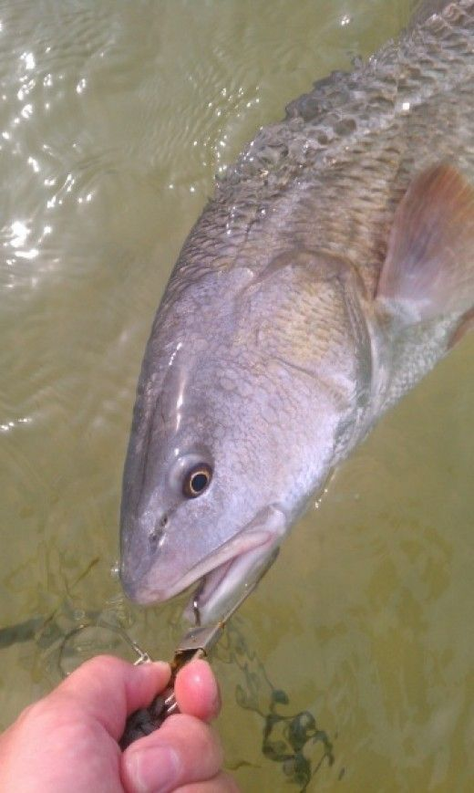 135 best inshore saltwater fishing pictures images on for Saltwater fishing basics