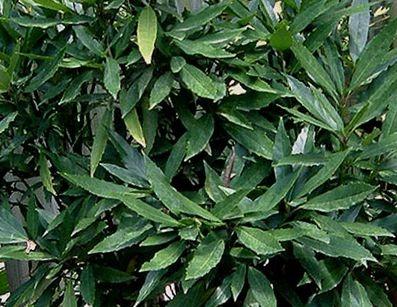 Aucuba_japonica_Longifolia