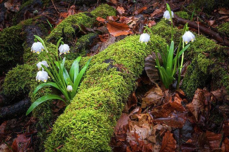 Awaking Nature. Snowdrops Flowers by Jenny Rainbow