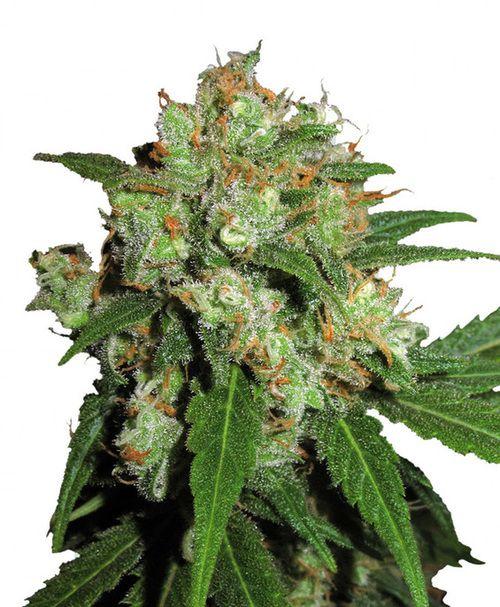sensi skunk weed seeds feminized