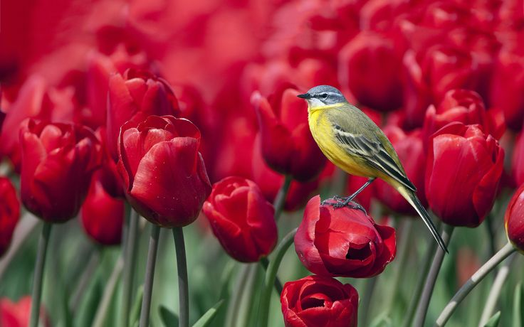 Red Tulips Wallpaper11