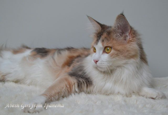 Maine Coon, biue torti tabby blotched & white (g 09 22). Abesh Girl from Ipanema