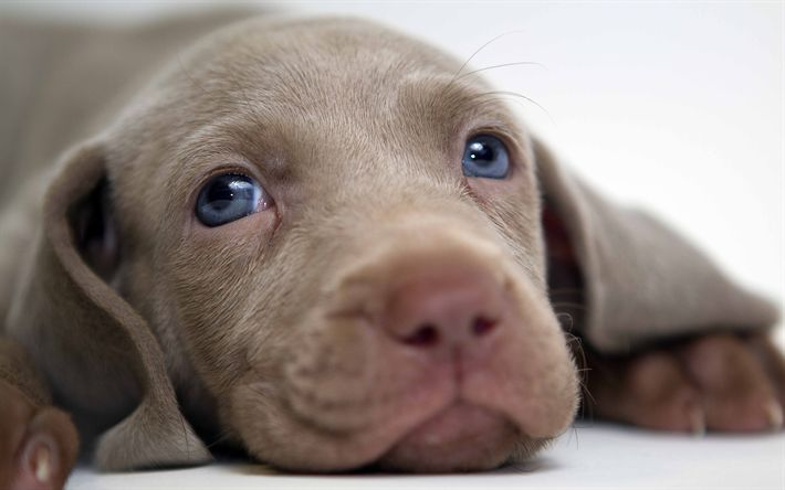 Download wallpapers Weimaraner Dog, 4k, muzzle, cute dog, pets, cute animals, dogs, Weimaraner