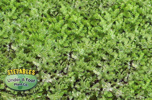Chamaemelum nobile 'Treneague' Dwarf Chamomile