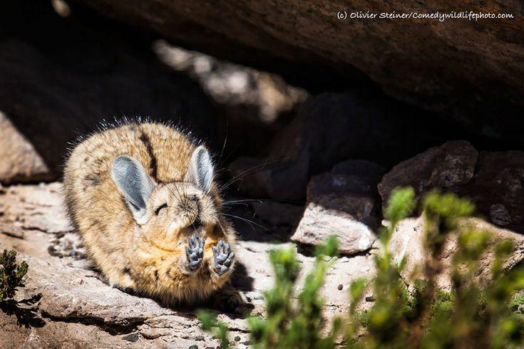 Îndrăgitul concurs de fotografie comică a naturii sălbatice s-a încheiat pe 1 octombrie, dar câștigătorii încă nu au fost anunțați. Până când vom afla cine s-a învrednicit de marele trofeu, îți propunem, să privești 18 imagini haioase care au participat la concursulComedy Wildlife Photography Awards 2016. Trebuie să menționăm că zâmbetul și buna dispoziția nu …