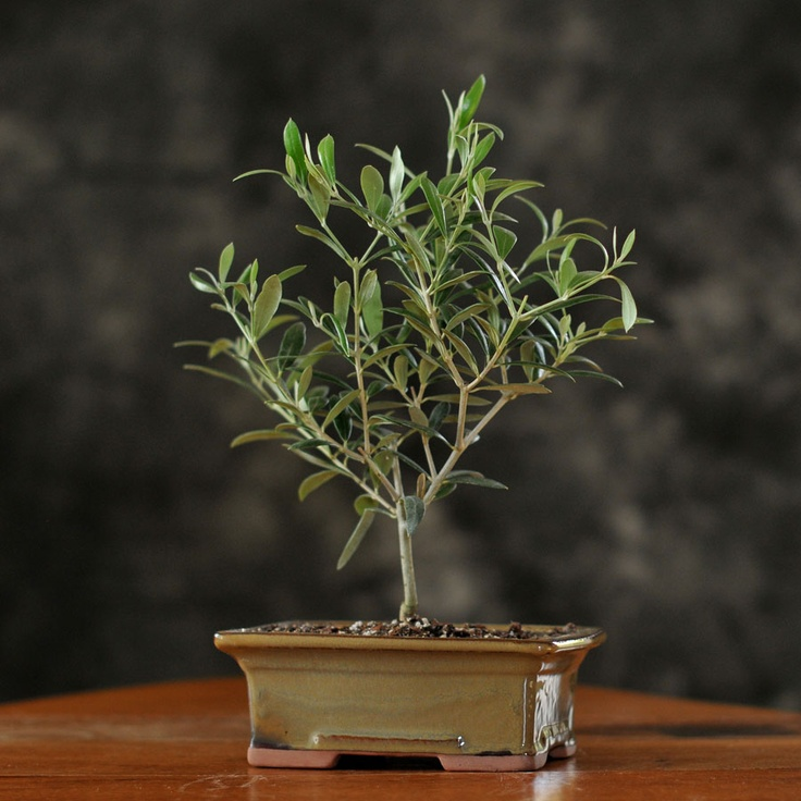 40 best wine and grape jewelry images on pinterest for How to make an olive tree into a bonsai