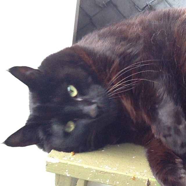 Huge Hugo, the biggest cat we've ever seen, and such a gentle giant too.  Black Domestic Shorthair #cat