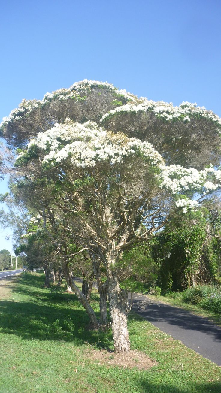 Tea Tree (Melaleuca alternifolia) in flower in October in Byron Bay (on pathway in front of Byron Cultural & Sporting Complex)