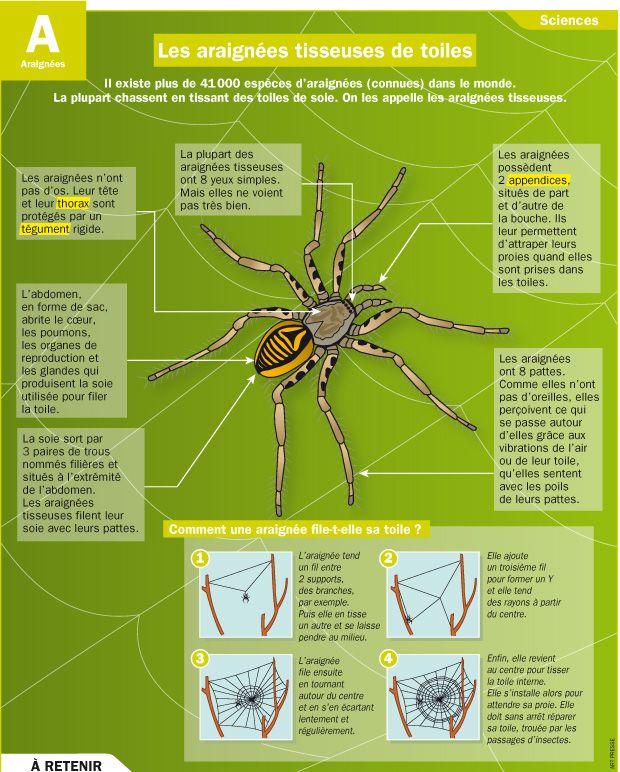 Fiche exposés : Les araignées tisseuses de toiles                                                                                                                                                                                 Plus