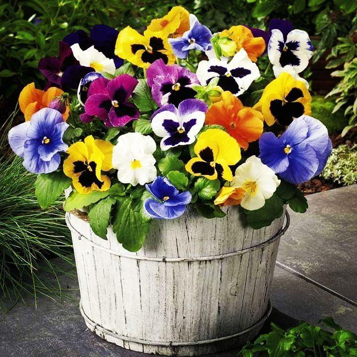 Stiefmutterchen Blumen Flowers Blumendeko Mit Bildern Pflanzenbeet Stiefmutterchen Blumen Anbauen