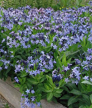 Amsonia, Blue Ice - For Arizona I need Peebles' Blue Star, but it looks like it will be really hard to find.