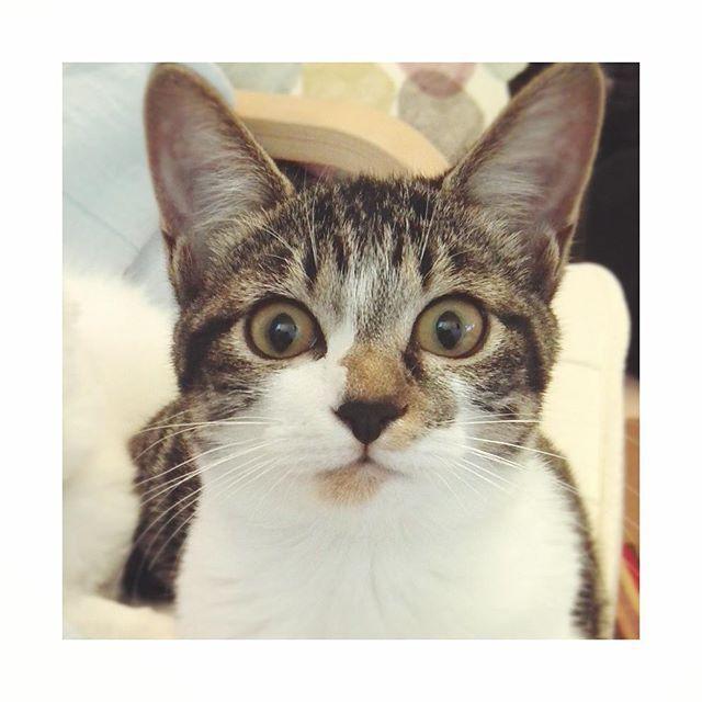 ちょっと前まで、うるめのアゴはごはんで汚れてると思って拭いてたけど、模様と気づいた時の衝撃😲 * * * #お口模様の会 に#入会しないとね #よろしくお願いします #土アップ祭 #はよ気づけ って顔してる #保護猫 #壁猫 #キジ白 #子猫  #生後5ヶ月 #今日のうるめ #愛猫 #かぎしっぽ #うるめ #ねこすたぐらむ #ぺこねこ部 #にゃんすたぐらむ #みんねこ #にゃんだふるらいふ  #ilovecat #kijishiro #pet #cat #catstagram #instacat #kitty