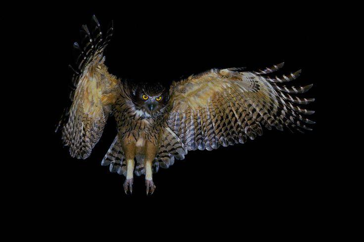 FISH-OWL   Photograph by Tadashi Shimadカムイの夜 シマフクロウ 嶋田忠