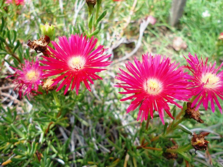 Rayito de sol (Mesembryanthemum roseum)