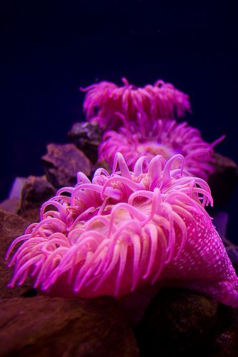 The bright colours of this Sea anemone are highlighted by the flash.